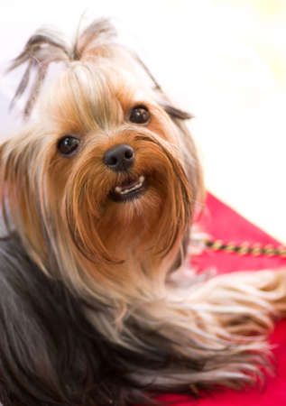Puppy yorkshire terrier on the red background photo