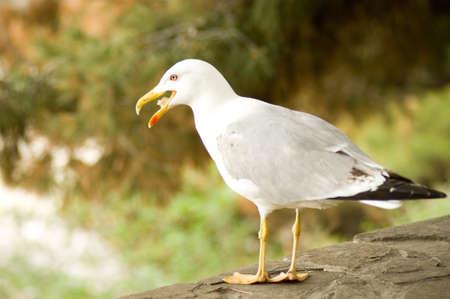 lesser: Lesser gray-backed Gull