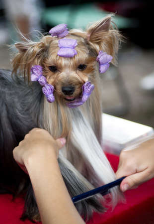 Puppy yorkshire terrier with rollers Stock Photo - 14333524