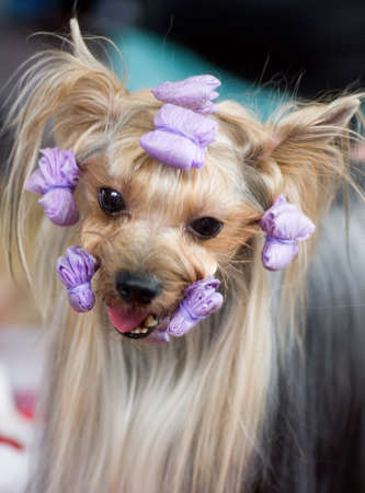 Puppy yorkshire terrier with rollers photo