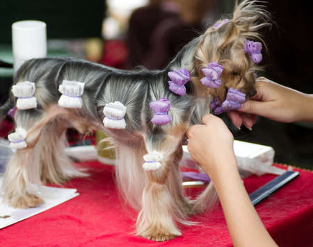 Beautiful Yorkshire terrier getting his hair cut at the groomer photo