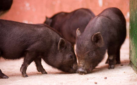 young pig: Three young pig animal
