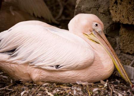 pompous: Pompous pelican