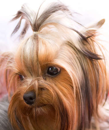 Puppy yorkshire terrier photo