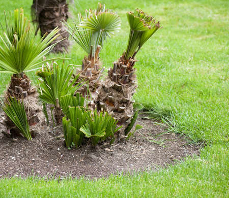 grass plot: Little Palm-trees in park