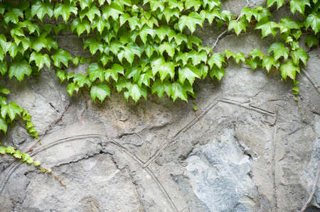 Stone wall and green ivy Stock Photo - 14696197