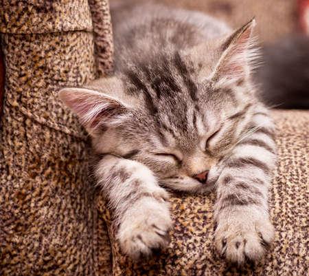 Beautiful Scottish young cat photo