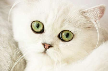 whiskar: Small funny white kitten
