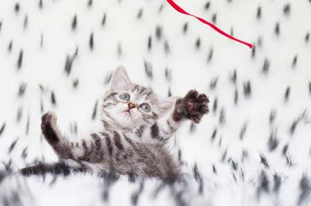 Beautiful Scottish young cat Stock Photo - 17804398
