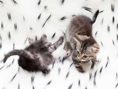 Beautiful Scottish young cat Stock Photo - 17804432