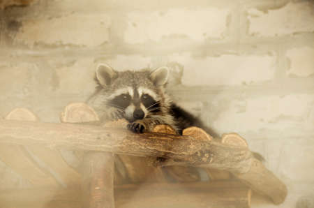 Beautiful raccoon in a cage