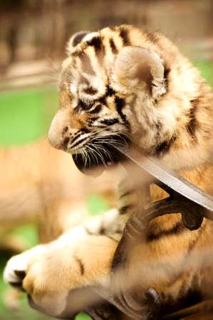 felid: Young leopard - portrait