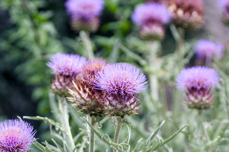 Thistle flower photo