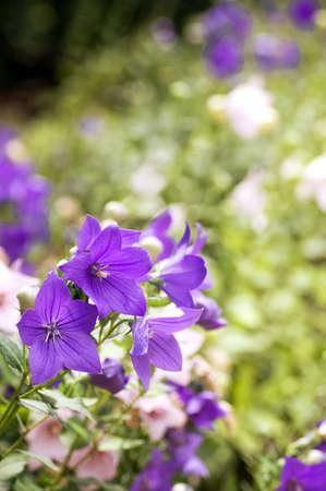 violet flowers: Beautiful violet flowers