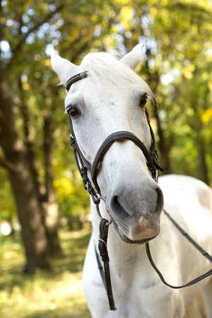 trakehner: White Horse