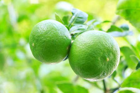 two lemon isolated on background