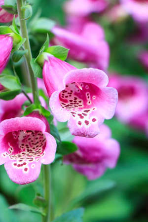 Two Pink flower in the garden