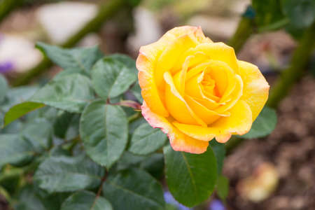 Yellow Rose isolate on background Stock Photo