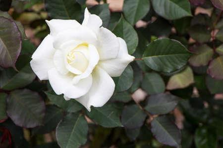White Rose isolate on background