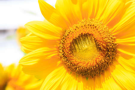 Yellow sunflower isolate on background Stock Photo - 17480367