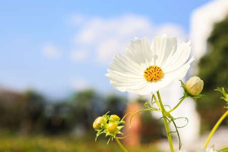 White Cosmos Flowers in a field Stock Photo - 17583194