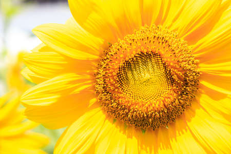 Yellow sunflower isolate on background