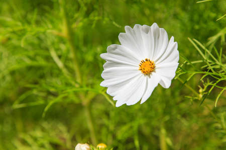 White Cosmos Flowers in a field Stock Photo