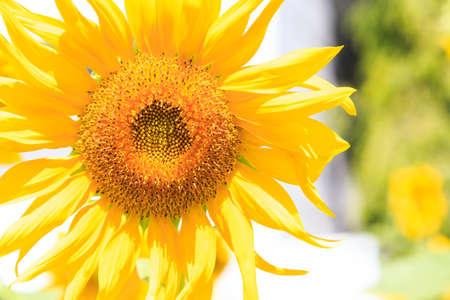 Yellow sunflower isolate on background Stock Photo - 17583203