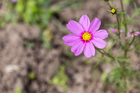 Pink Cosmos Flower in a Field