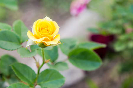 Yellow Rose Isolate on background