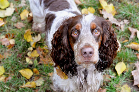 The autumn portrait of the russian spaniel on the green background