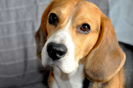 The portrait of the cute beagle on the grey sofa Stock fotó - 135463419