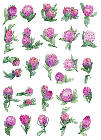 Set of protea flowers for design. Exotic tropical bunches for textile, bridal decoration.