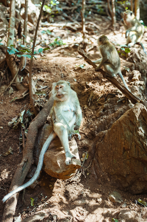 animal related: Long-tailed macaques sitting on the rock in Sacred Monkey Forest at National Park, Thailand  Stock Photo