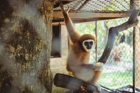 Monkey gibbon sitting in captivity at the zoo, Thailand photo