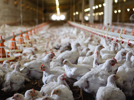Poultry farm (aviary) full of white laying hen photo