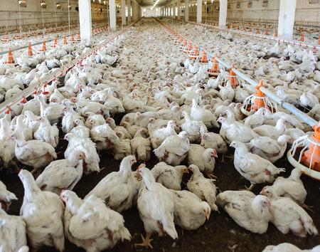 養鶏場 (鳥小屋) 白い鶏の完全