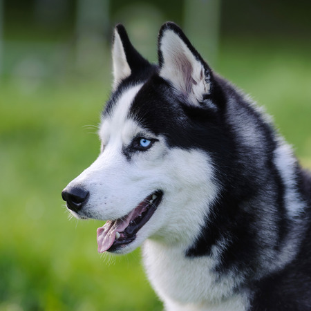 siberian husky dog with blue eyes outdoor in summer, closeup Stock Photo - 51674816