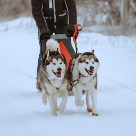 wolf couple: Dog sledding of alaskan malamutes, snow dogs, wintertime Stock Photo