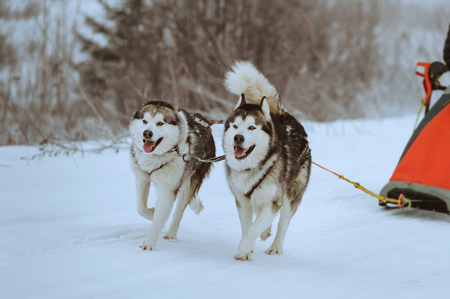 mushing: riding with a dog team of alaskan malamute, snow dogs, wintertime Stock Photo