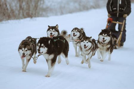riding with a dog team of alaskan malamute, snow dogs, wintertime 版權商用圖片