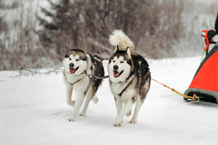 wolf couple: riding with a dog team of alaskan malamute, snow dogs, wintertime Stock Photo