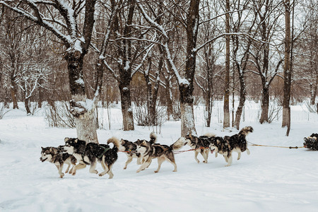 mushing: riding with a dog team of six alaskan malamute, snow dogs, wintertime