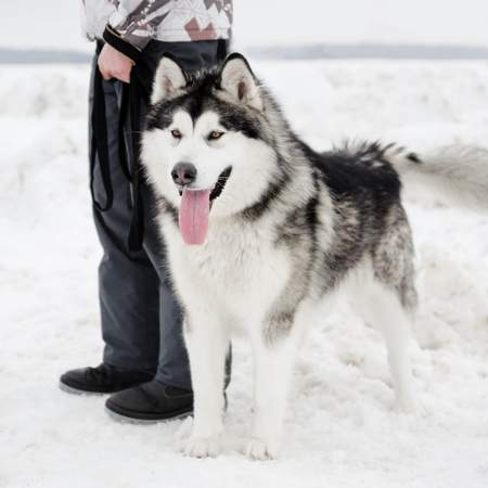 companion: The Alaskan Malamute dog stands at the feet of the owner, faithful friend and companion, wintertime