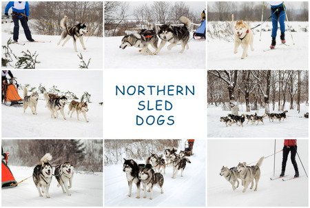 sled dogs: riding the sled from Northern sled dogs, Siberian huskies and Alaskan Malamutes,  wintertime, a set of photos