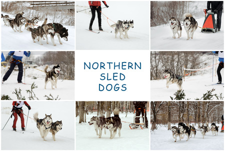 wolf couple: the dog sledding, Siberian huskies and Alaskan Malamutes, wintertime, a set of photos