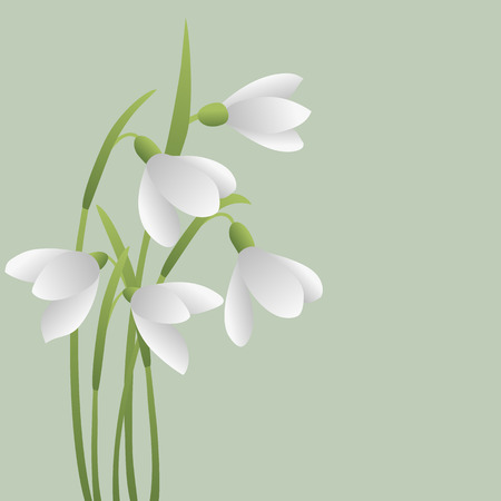 Bunch of white snowdrops. The first spring flowers. Floral background. Vector illustration Illustration