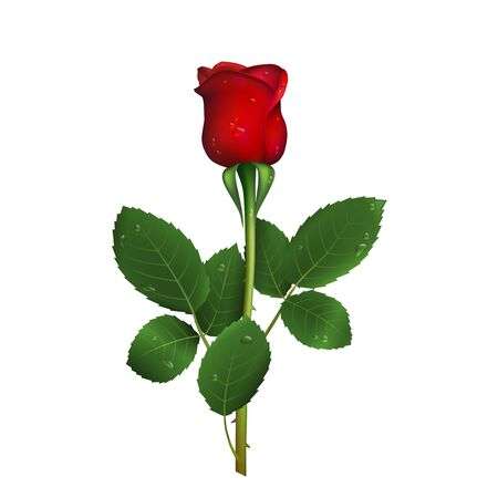 Single beautiful red rose with thorns and drops of water isolated on white background.