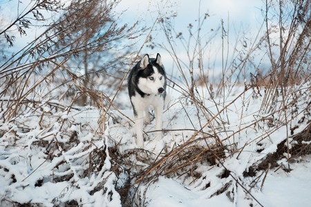 Portrait of Siberian Husky black and white colour with blue eyes outdoors in winter. Stock Photo
