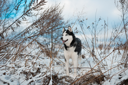 Portrait of Siberian Husky black and white colour with blue eyes outdoors in winter. A pedigreed purebred dog